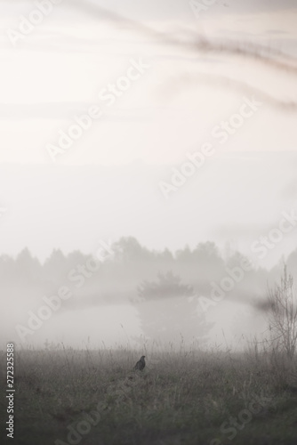 Stampa su Tela Black grouse tokuyut spring morning in the fog with the first rays of the sun