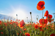 A Field Of Flowering Poppies O...