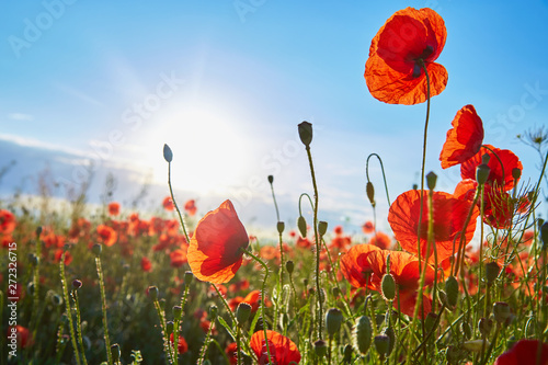 Tuinposter Poppy A field of flowering poppies on a bright sunny day. Picture on postcard