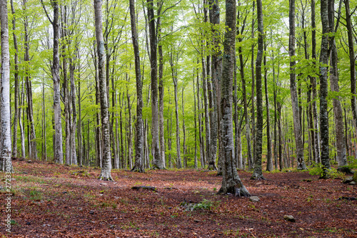 plakat Woods in Amiata Mountain in spring season, Tuscany