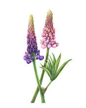 Branches Flowers Pink And Purple Lupin (Lupinus Plant Known As  Lupine). Watercolor Hand Drawn Painting Illustration, Isolated On White Background.