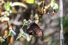 Queen Butterfly Danaus Gilippu...