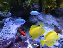 Zebrasoma Flavescens - Yellow ...