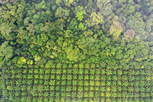 Fotografia Palm oil plantation at rainforest edge