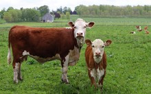 Newborn Hereford Calf Standing In The Field With Cow