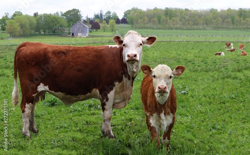 Photo Newborn Hereford calf standing in the field with cow
