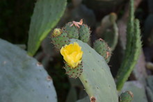 Opuntia Humifusa With Yellow Flowers Devil Tongue Needles