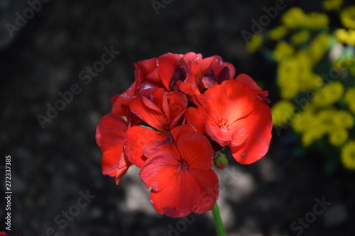 Red geranium on the black background