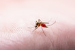 canvas print picture Encephalitis, Yellow Fever, Malaria Disease, Mayaro or Zika Virus Infected Culex Mosquito Parasite Insect on Skin Macro