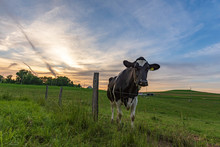 Single Holstein Cow In Pasture...