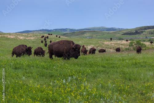 Aluminium Prints Bison Bison Walking Across the Prairie