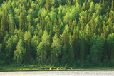 Fototapeta  - texture coniferous forest top view / landscape green forest, taiga peaks of fir trees