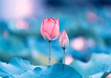 Beautiful Pink Lotus Flower Pl...