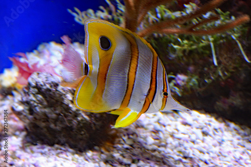 Copper Banded Butterfly Fish Canvas Print