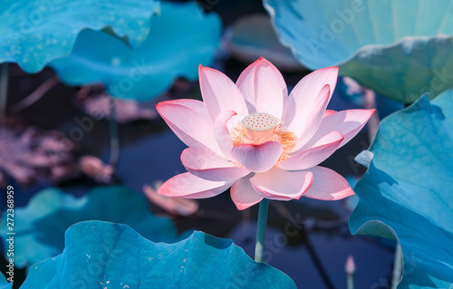 Foto op Aluminium Lotusbloem blooming lotus flower in pond
