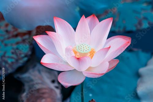 Photo Stands Lotus flower beautiful pink lotus flower plants