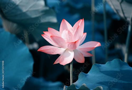 beautiful pink lotus flower plants