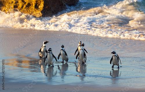 Fototapeta premium AFRYKAŃSKI PINGWIN, False Bay, RPA, Afryka