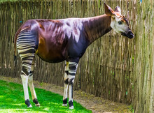 Okapi In Closeup, Endangered A...