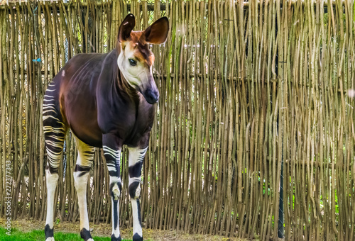 closeup of a okapi, tropical endangered giraffe specie from Congo, Africa Canvas Print