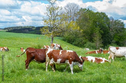 Vache vache dans un près
