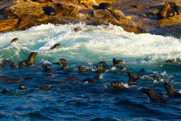 CAPE FUR SEAL, False Bay, South Africa, Africa