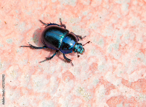 Dung beetle (Scarab). Beetle of the family of dung-diggers. Body convex, oval, length 14 to 21 mm, bright blue color, shiny. The scarab beetle is one of the most revered symbols in Egypt. The priests