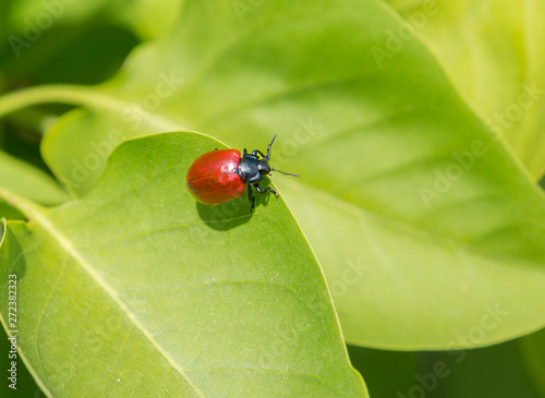 Poplar leaf beetle. These are beetles of small or medium size, body length 10-12 mm. Color red.The forage plants of the insect are poplar and willow.