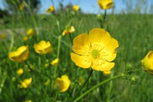 Beautiful Buttercup Flowers
