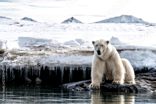 Poster Ijsbeer Adult male polar bear at the ice edge in Svalbard