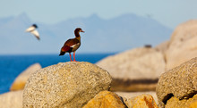 EGYPTIAN GOOSE - OCA DEL NILO (Alopochen Aegyptiacus), False Bay, South Africa, Africa