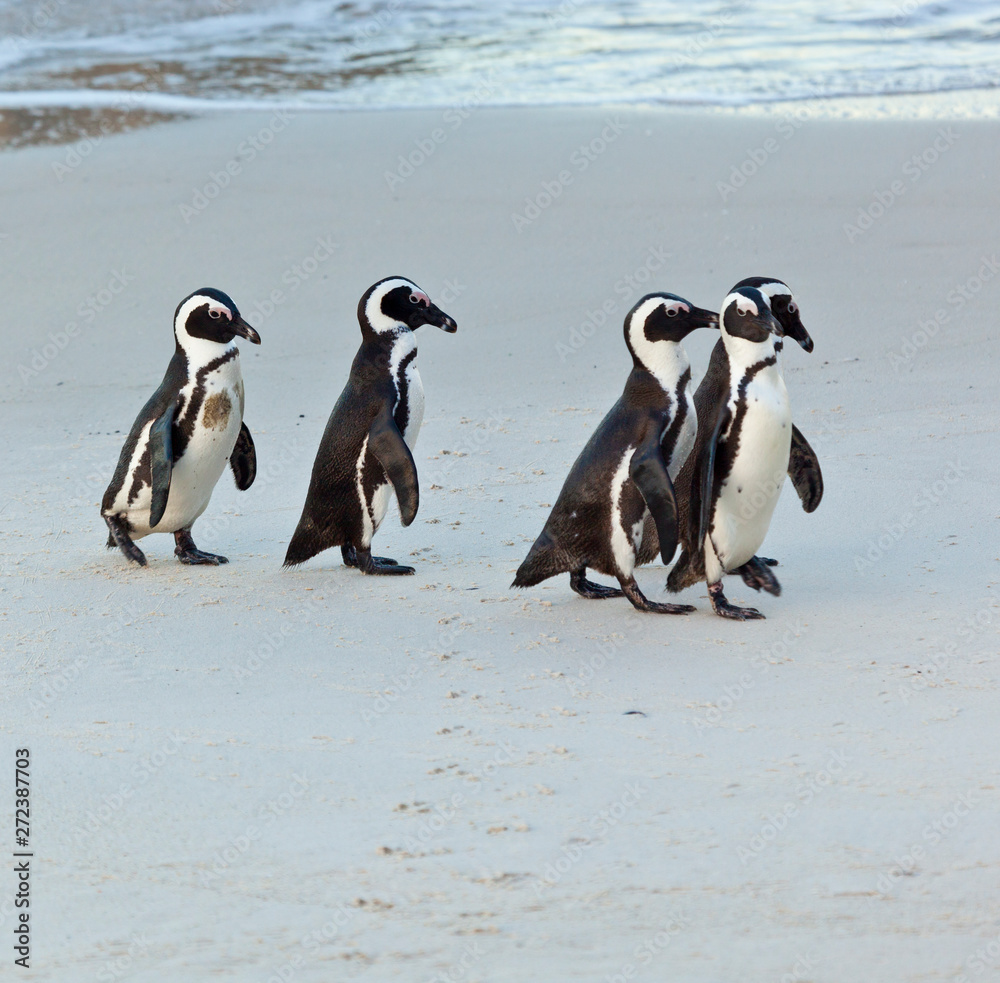 AFRICAN PENGUIN, False Bay, South Africa, Africa