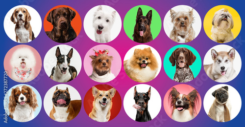 Cadres-photo bureau Chien Young dogs are posing. Cute doggies or pets are looking happy isolated on colorful or gradient background. Studio photoshots. Creative collage of different breeds of dogs. Flyer for your ad.