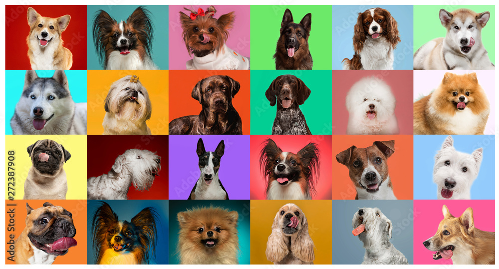 Fototapeta Young dogs are posing. Cute doggies or pets are looking happy isolated on colorful or gradient background. Studio photoshots. Creative collage of different breeds of dogs. Flyer for your ad.