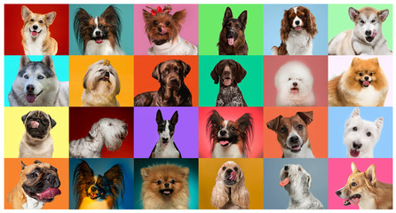 FototapetaYoung dogs are posing. Cute doggies or pets are looking happy isolated on colorful or gradient background. Studio photoshots. Creative collage of different breeds of dogs. Flyer for your ad.