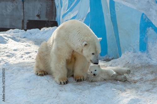 In de dag Ijsbeer small white bear cub near mother