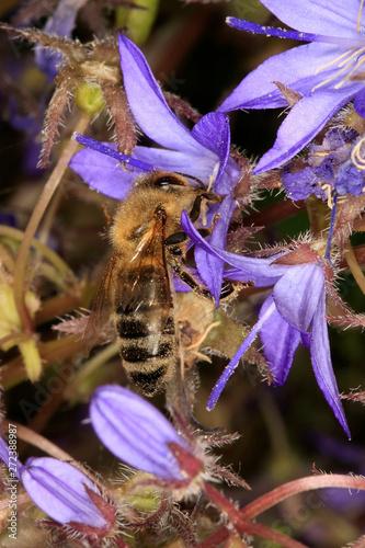 Bellflower, Campanula poscharskyana, flowering plant Fototapet