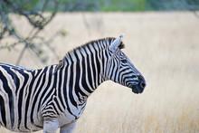 Zebra (equus Burchelli), South Africa