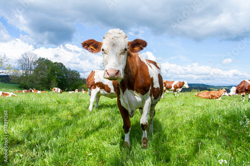 Photographie vache dans un près