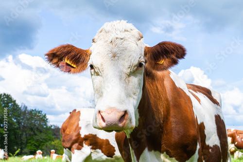 Photo sur Aluminium Vache vache dans un près