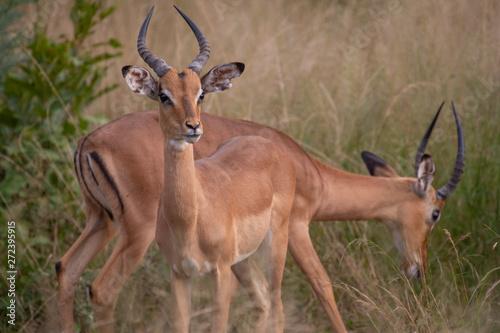 Photo Stands Antelope Safari antilope Parc Kruger Afrique du Sud
