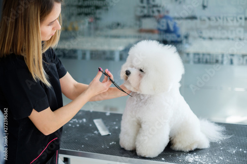 Valokuvatapetti Bichon Fries at a dog grooming salon