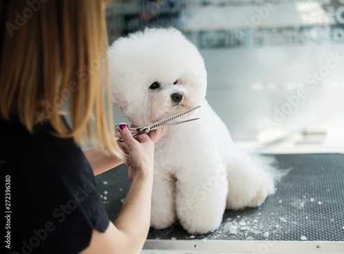 Fotografia, Obraz Bichon Fries at a dog grooming salon