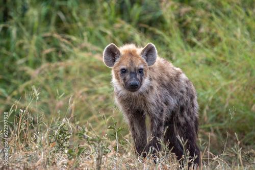 Poster Hyène Safari hyene Parc Kruger Afrique du Sud