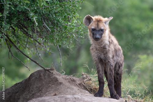Photo sur Toile Hyène Safari hyene Parc Kruger Afrique du Sud