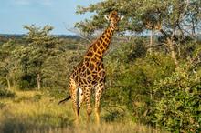 Safari Girafe Parc Kruger Afrique Du Sud