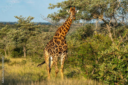 Photo  Safari girafe Parc Kruger Afrique du Sud