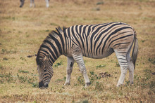 Zebra Foal Eating Grass In Addo National Park, South Africa