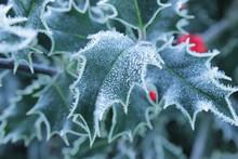 Stechpalme, Blätter Mit Eiskristallen