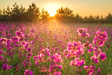 Spring Landscape With Blooming Purple Flowers In Meadow And Sunrise